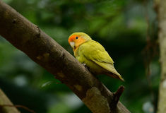 Lutino mutation rosy-faced lovebird (Agapornis roseicollis) Stock Photos