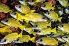 Lutjanidae amarillo de los mordedores mientras que Maldivas que se zambullen Fotografía de archivo libre de regalías