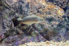 Lutjanus argentimaculatus Stock Photos