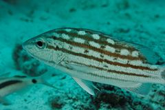 Lutjanus decuussatus - Andaman Sea Royalty Free Stock Images