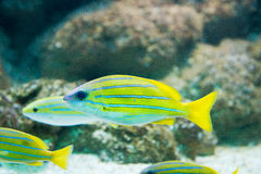 Lutjanus kasmira - Bluestripe snapper Royalty Free Stock Photo