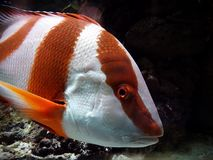 Red Emperor Snapper stock photo
