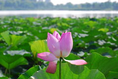 Lutos花在瓷yunlong湖  库存图片