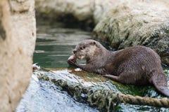 Lutra da lontra, Lutra Foto de Stock