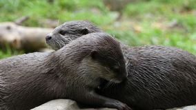 Lutra lutra - Eaurasian Otters very cute cuddlin tpogether royalty free stock photos