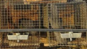 Lutreola Mustela, смотря через решетку его клетки Промышленное размножение животных меха видеоматериал