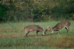 Lutte de cerfs communs de Whitetail Photo libre de droits