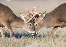 Lutte de cerfs communs de Whitetail image libre de droits