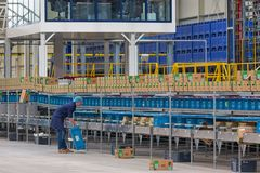 Worker in Dutch greenhouse with wrapping up peppers Royalty Free Stock Images