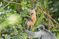 Lutung argenteo &#x28 del bambino e della madre; Trachypithecus cristatus) nel parco nazionale di Bako, il Borneo Immagini Stock Libere da Diritti