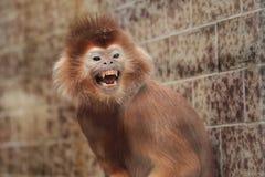 Lutung javan enojado foto de archivo libre de regalías