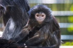 The lutung monkey. Portrait Royalty Free Stock Image
