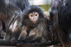 The lutung monkey. Portrait Stock Image