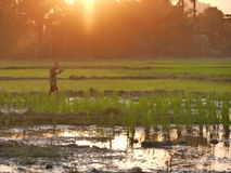 04 2017 Luty, Hpa-an Myanmar - Młody azjatykci chłopiec odprowadzenie przez ryżu pola Obrazy Stock