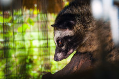 Luwak - Asian palm civet in a cage Stock Image