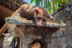 Luwak - Balinese viverra making most expensive coffee in the world Royalty Free Stock Photo