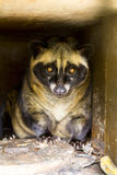 Luwak civet cat Royalty Free Stock Photography