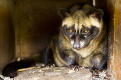 Luwak civet cat Royalty Free Stock Photo