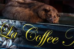 The Luwak civet cat. Used to produce the exotic expensive luwak coffee in Bali, Indonesia Stock Photo