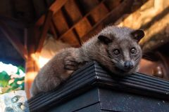 The Luwak civet cat. Used to produce the exotic expensive luwak coffee in Bali, Indonesia Royalty Free Stock Photography