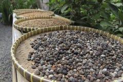 Luwak kaffebönor som torkar i korgen royaltyfria bilder