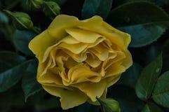 Luxúria amarela Rosa imagens de stock