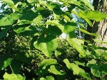 Luxúria, folhas verdes do verão Fotos de Stock Royalty Free
