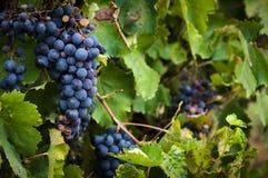 Luxúria, uvas maduras do vinho tinto na videira com folhas verdes Fotografia de Stock