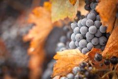 Luxúria, uvas para vinho maduras com gotas da névoa na videira Foto de Stock