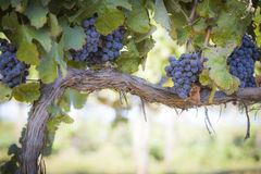 Luxúria, uvas para vinho maduras na videira Fotografia de Stock Royalty Free