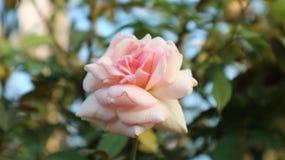 Luxe de floraison de Rose pendant le jour ensoleillé photo stock