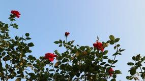 Luxe de floraison de Rose sur le ciel bleu images stock