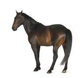 Luxemburger Warmblood, 5 jaar oud, paard Stock Foto's