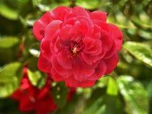 Luxo vermelho no macro Imagem de Stock