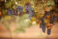 Luxúria, uvas para vinho maduras na videira Foto de Stock Royalty Free