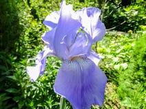Luxueuze blauwe Irisgermanica of Gebaarde Iris op de achtergrond van heldergroen royalty-vrije stock afbeeldingen