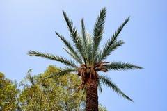 Luxueuze kroon van de palm tegen de heldere blauwe hemel Stock Foto's