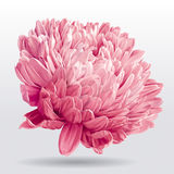 Luxueuze roze Asterbloem Royalty-vrije Stock Foto