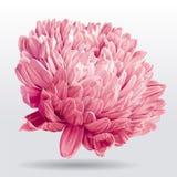 Luxuriöse rosa Asterblume Lizenzfreies Stockfoto