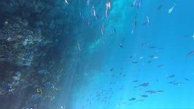 Luxuriöse Unterwasserwelt mit vielen von Fischen und von schönen Korallenriff tief stock footage