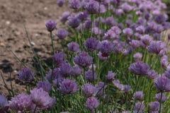 Luxuriant зацветая chives цветков растут обильно в затеняемом саде стоковое изображение rf