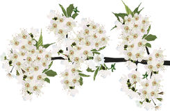 Luxuriant cherry tree isolated blossom Royalty Free Stock Photo