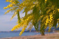 Luxuriant et lumineux les branches de l'argent d'acacia Photos libres de droits
