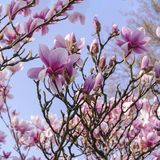 Pink Magnolia blooms on the blue background. Luxuriant flowering of magnolias in parks and gardens April spring days Royalty Free Stock Photo
