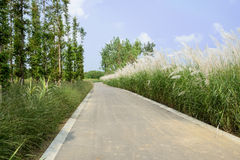 Luxuriant reeds and woods along asphalt road in sunny summer Royalty Free Stock Images