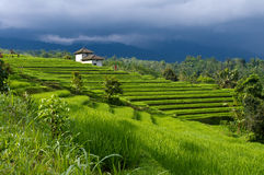 Luxuriant rice fields Stock Images