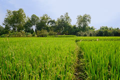 Luxuriant rice fields before aged cottage in sunny summer Stock Images