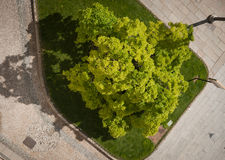 Luxuriant tree aerial view. A beautiful flourishing tree seen from above survives the city Royalty Free Stock Photo