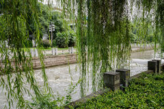 Luxuriant willows at riverside in sunny summer Royalty Free Stock Images