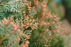 Luxuriantly blommande thuja arkivfoton